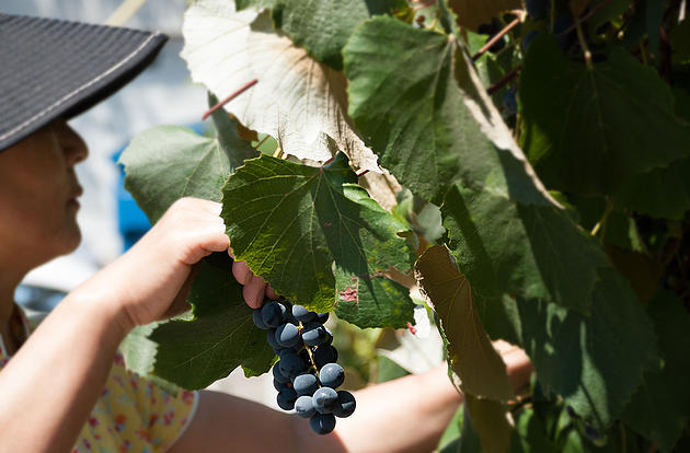Gopher loves freebies from nature - Parking lot grapes